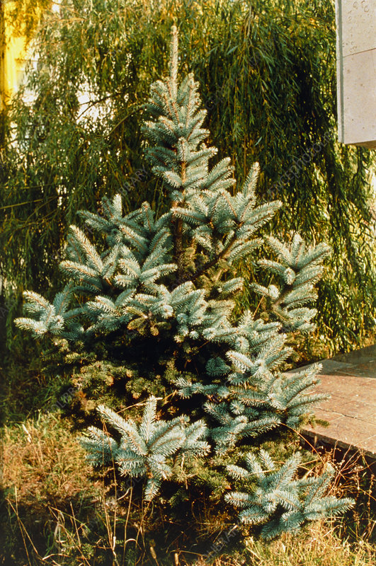 Blue spruce mutated due to Chernobyl fallout.