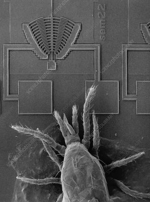 SEM of microresonator with mite (Acarimetaseiulus)