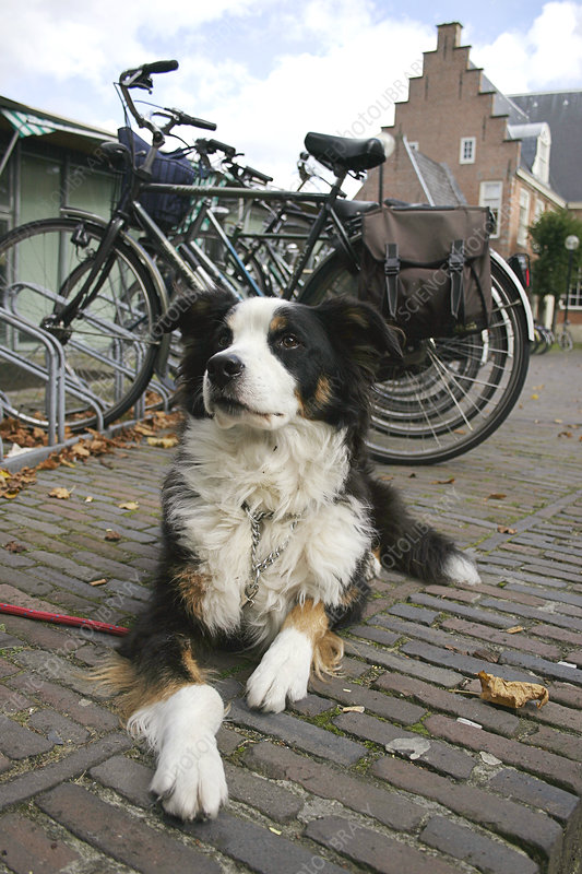 Dog guarding bicycles