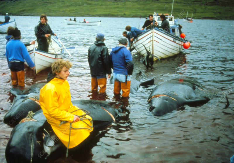 Whale hunting in the Faroe Islands