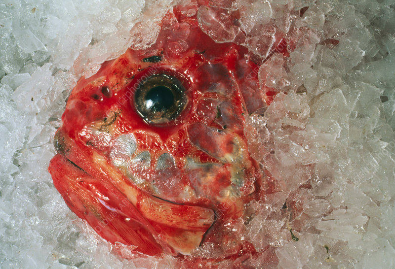 Orange Roughie packed in ice after being caught
