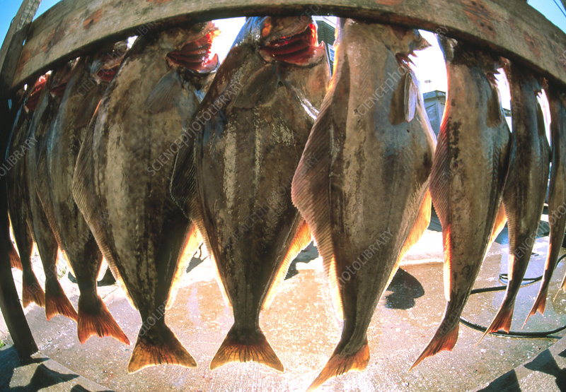 Fish-eye view of a haul of halibut on a rack