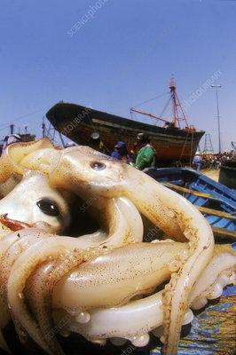 Squid catch