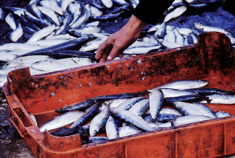 Sardines in a fishmarket