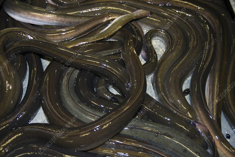 Fresh eels