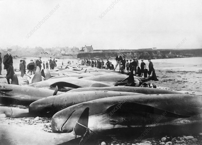 Whale hunting, 1900