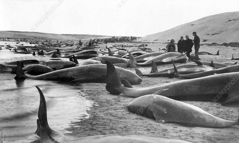 Whale hunting, USA, 1885