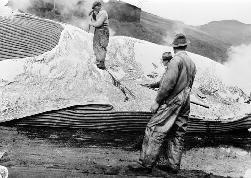 Cutting up a dead whale, mid-20th century