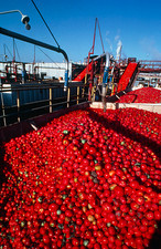 Tomatoes awaiting processing at a tomato cannery