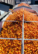 Sunkist oranges being processed