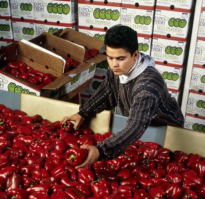 Worker sorts red bell peppers for packing in boxes
