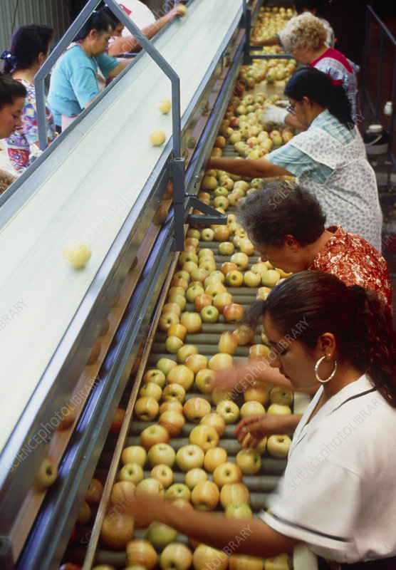 Workers check apple quality