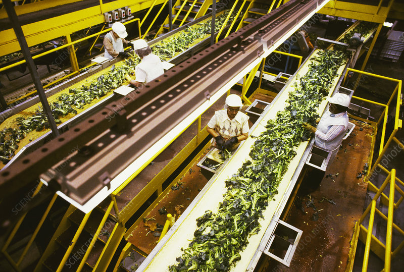 Factory workers processing broccoli