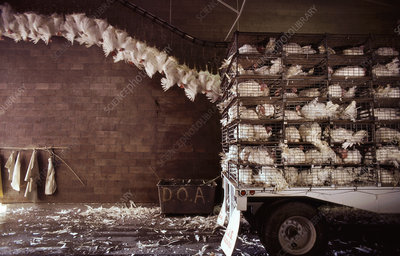 Turkeys being delivered to abattoir for slaughter