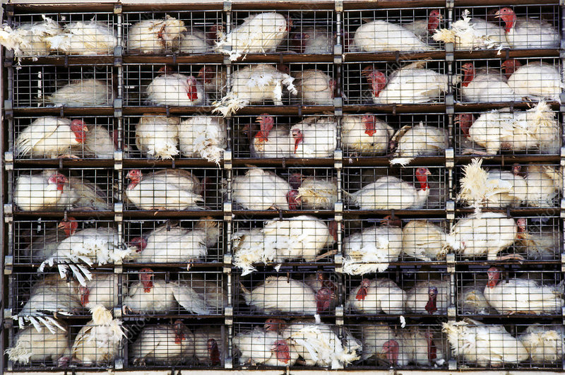 Caged turkeys about to be slaughtered