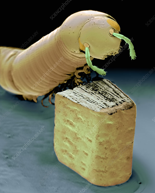 Smallest book and millipede, SEM