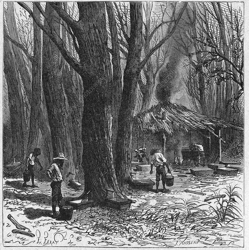 Collecting maple tree sap, 19th century