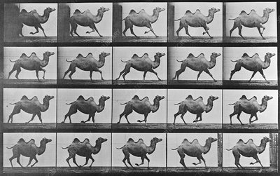 High-speed sequence of a galloping camel