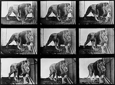 High-speed sequence of a walking lion by Muybridge
