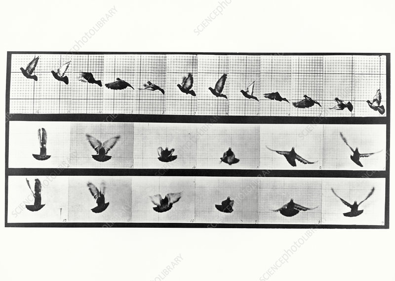 High-speed sequence of a pigeon in flight