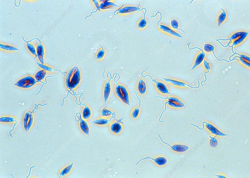 binary fission in leishmania - photo #12