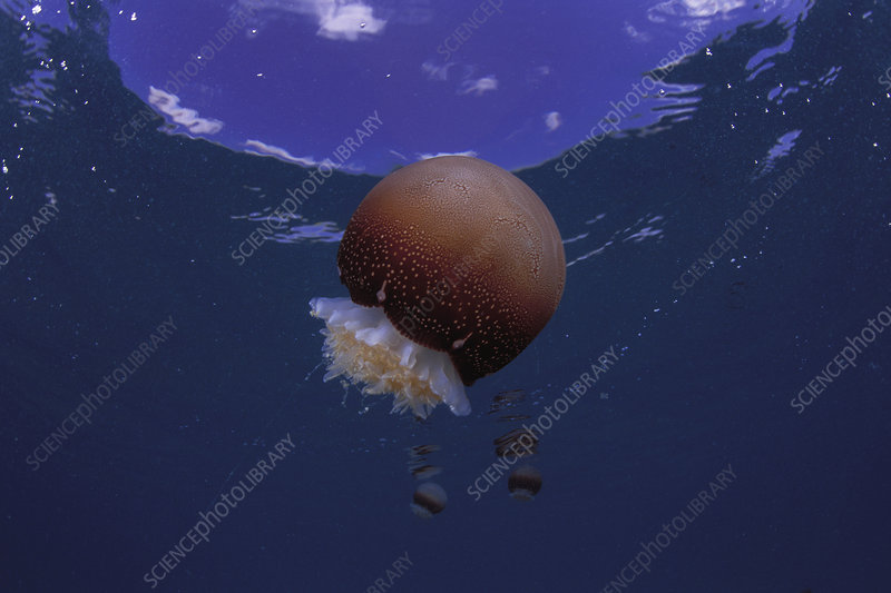 Cannonball Jellyfish