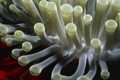 Tentacles of sea anemone, Stoichactis