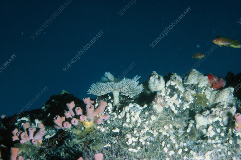 Coral reef organisms in the Red Sea
