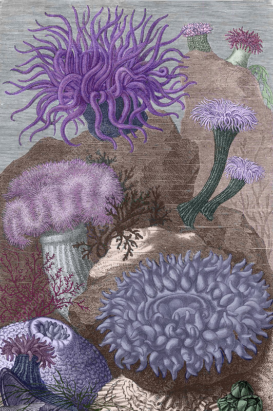 Historical artwork of various sea anemones