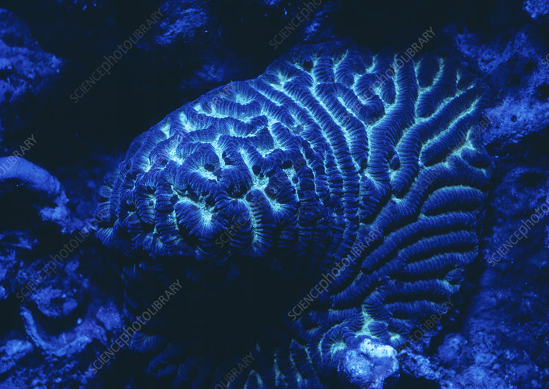 Fluorescing coral