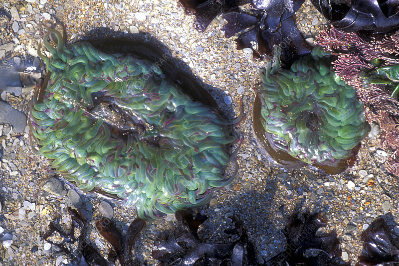 crustaceans and algae relationship