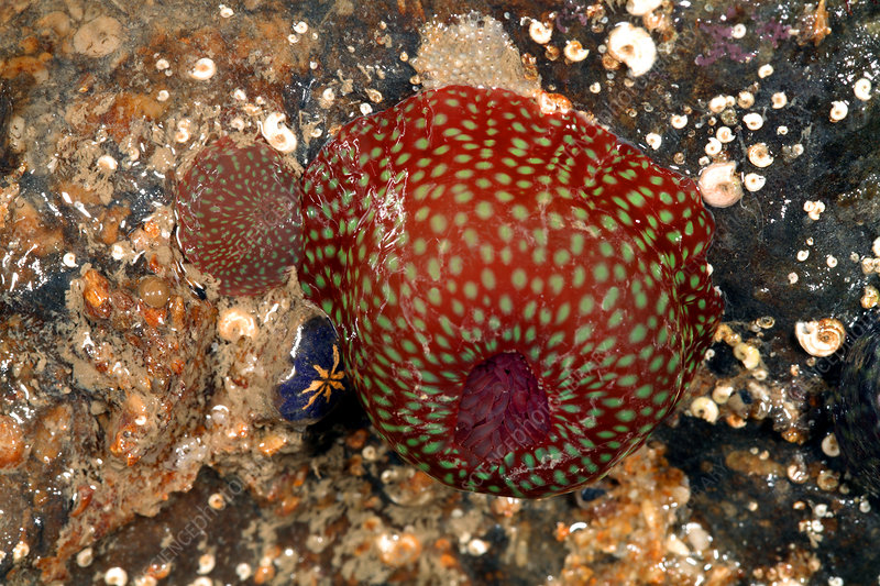 Beadlet anemone with young
