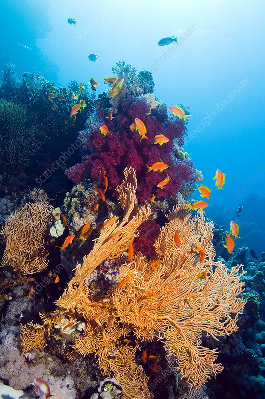 Gorgonian and soft coral