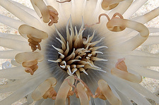 Brown banded anemone