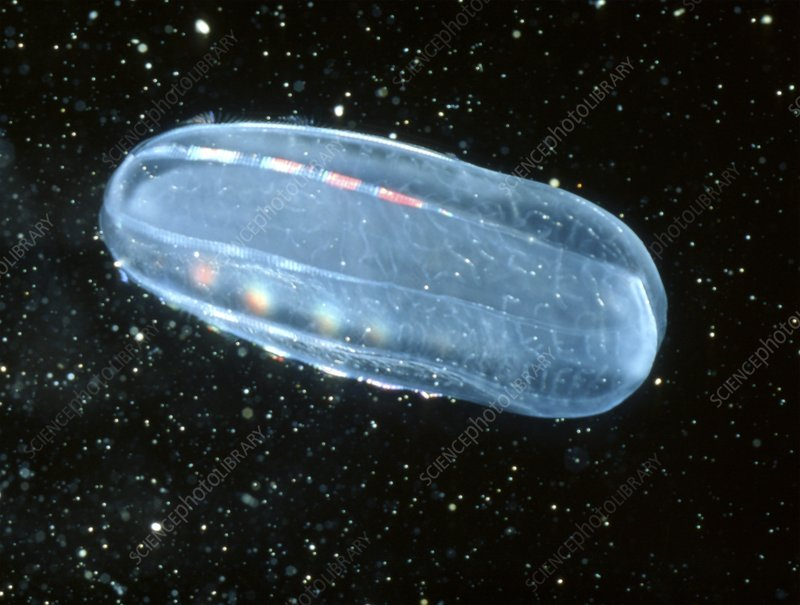 Melon jellyfish, a type of comb jellyfish