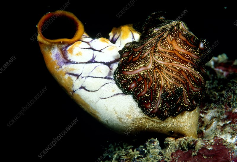Flatworm on ascidian