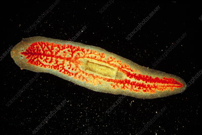 Flatworm, light micrograph