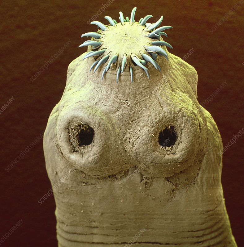 Colour SEM of the head of a tapeworm, Taenia sp.