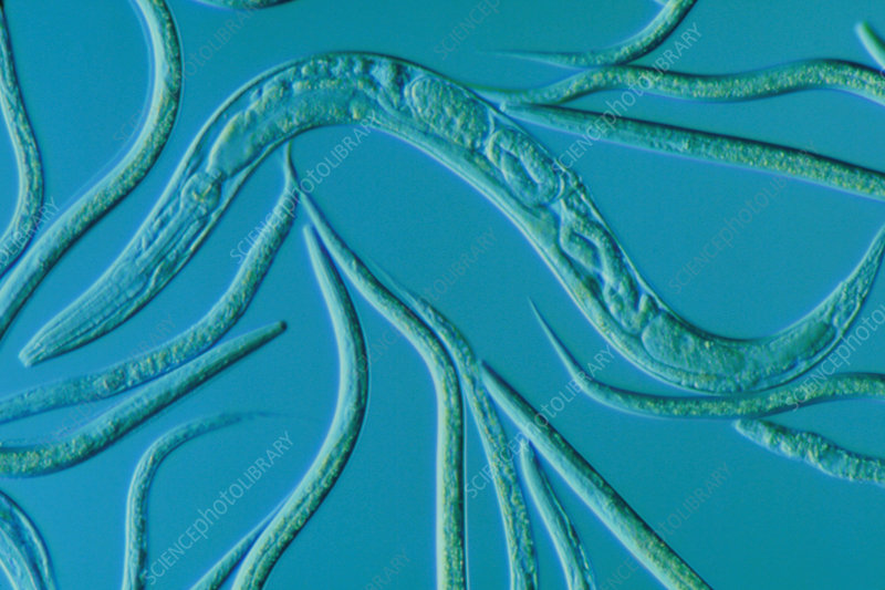 c elegans research paper An overview of roundworm genome sequencing at nhgri  c elegans the caenorhabditis  and was supported by the national human genome research.