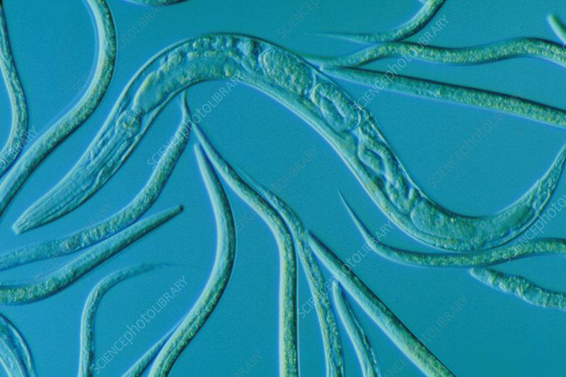Diagram Caenorhabditis Elegans Stock Image Image Of Nematode