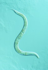 LM of the nematode worm, Caenorhabditis elegans