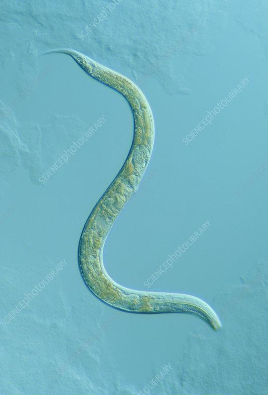 Wiring Diagram C Elegans Worm