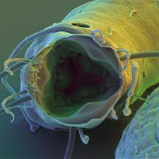 Coloured SEM of the mouth of Enoplid nematode worm