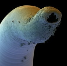 Colour SEM of the head of a hookworm, Ancylostoma