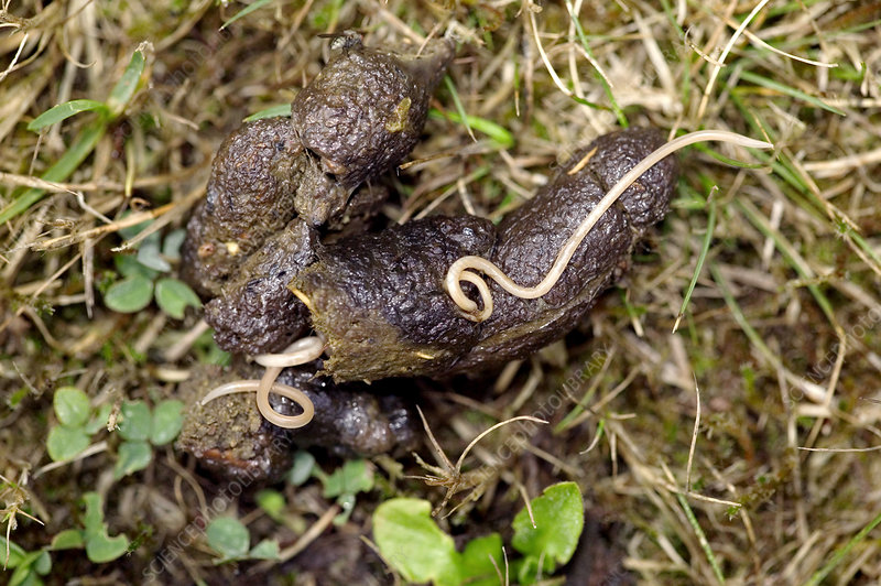 Parasitic worm in dog faeces