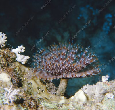 Fanworm, Sabellia sp. found in the Red Sea