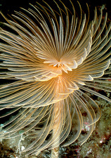 Tube worm with its tentacles extended