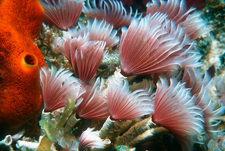 Social feather duster worm