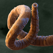 Annelid worm
