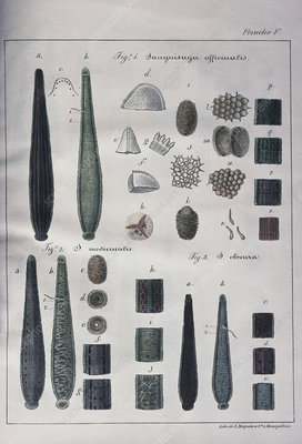 Historical anatomical artworks of leeches